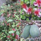 花木 庭木の苗/フェイジョア:クーリッジ樹高1.2m根巻き