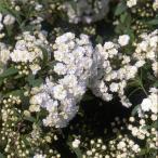 花木 庭木の苗/コデマリ:八重咲きこでまり4.5号ポット