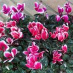 草花の苗/ガーデンシクラメン:メティスファンタジア花色ミックス3号ポット 3株セット