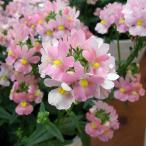 草花の苗/ネメシア:メーテル エレーヌ3.5号ポット 2株セット