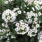草花の苗/栄養系スイートアリッサム・ホワイト3号ロングポット