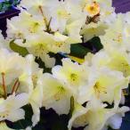花木 庭木の苗/西洋シャクナゲ:イグハムイエロー樹高30〜40cm根巻き