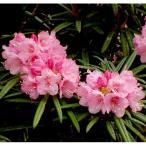 花木 庭木の苗/日本シャクナゲ:細葉石楠花 根巻き樹高20〜30cm
