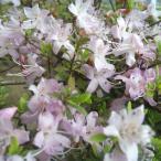 花木 庭木の苗/コメツツジ樹高50〜60cm根巻き