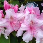 花木 庭木の苗/西洋シャクナゲ:ピンクパール樹高60cm根巻き