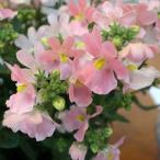 草花の苗/ネメシア:メーテル ほの花3.5号ポット 2株セット