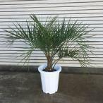 観葉植物/ココスヤシ10号鉢植え樹高約1m