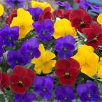草花の苗/ビオラ:ビビトリコロール フレッシュサンライズ3.5号ポット 2ポットセット