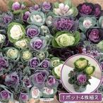 草花の苗/ハボタンぷちブーケ(葉色ミックス4株植え)3.5号 3ポットセット