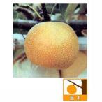 果樹の苗/ナシ(梨):ホウスイ(豊水)4〜5号ポット