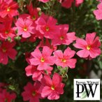 Yahoo!園芸ネット草花の苗/棚卸セール サンブリテニア:チェリーピンク3号ポット