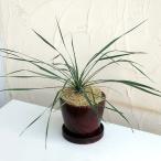 観葉植物/ユッカ:ロストラータ陶器鉢植え(ウッディラウンドブラウン・受け皿付)