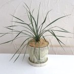 観葉植物/ユッカ:ロストラータ陶器鉢植え(ウッディラウンドホワイト・受け皿付)