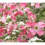 花木 庭木の苗/ハナミズキ:ピンクオーツカ根巻き樹高1.2〜1.5m