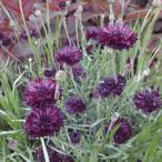 草花の苗/セントーレア(矢車菊):ブラックボール3.5号ポット 2株セット