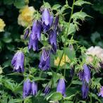 Yahoo!園芸ネット草花の苗/棚卸セール カンパニュラ:パープル・センセーション3.5号ポット