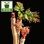 野菜の苗/トゲ無し赤芽タラの木:七島タラノキ4号ポット(株分け2年生苗)