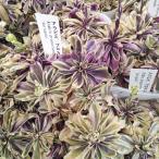 草花の苗/アラビス:プロカレンス斑入り3号ポット(2年生株) 2株セット