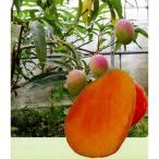 果樹の苗/17年5月中旬予約 マンゴー:アーウィン接木苗7号ポット