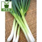 野菜の苗/ネギ:九条太ねぎ2.5号ポット 4ポットセット