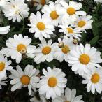 草花の苗/四季咲きマーガレット:フォーシーズンズホワイト3.5号ポット