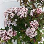 花木 庭木の苗/ビバーナム:ティヌス3.5号ポット