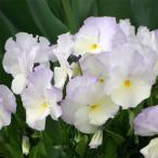 草花の苗/フレグランス宿根ビオラ:イザベラ3.5号ポット