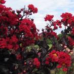 花木 庭木の苗/サルスベリ:ブラックパール レッド3.5号ポット