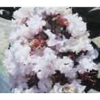 花木 庭木の苗/サルスベリ:ブラックパール ライトピンク3.5号ポット