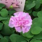 草花の苗/オキザリス:ボンボン3号ポット