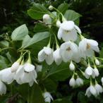 花木 庭木の苗/エゴノキ:オオエゴノキ3.5号ポット
