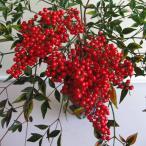花木 庭木の苗/ナンテン(南天):紅雫(ベニシズク)3.5号ポット 大房で大変実付きのよい一才性赤実品種