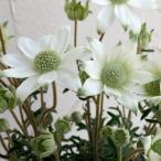 フランネルフラワー:天使のウインク5号鉢植え