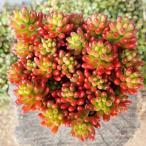観葉植物/セダム:虹の玉3.5号ポット