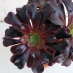観葉植物/アエオニウム:カシミアバイオレット4号鉢植え