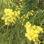 花木 庭木の苗/アカシア:ブリスベーンアカシア4号ポット