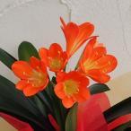 草花の苗/クンシラン4号鉢植え