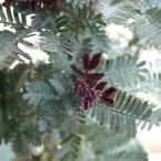 花木 庭木の苗/アカシア:ギンヨウアカシア ダークアイ4号ポット
