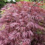 花木 庭木の苗/モミジ:紅枝垂れ(ベニシダレ)樹高1〜1.5m根巻きまたはポット苗