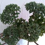 山野草の苗/ツワブキ:福寿牡丹(フクジュボタン)5号鉢植え