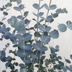 花木 庭木の苗/ユーカリ:アーニゲラ6号ポット