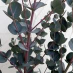 花木 庭木の苗/ユーカリ:アーチェリ6号ポット