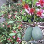 花木 庭木の苗/フェイジョア:マンモス 10号ポット樹高1.2〜1.5m