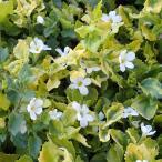 草花の苗/斑入りバコパ白花2.5号ポット