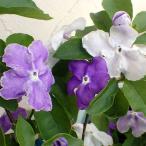 花木 庭木の苗/ニオイバンマツリ(ブルンフェルシア)7号鉢植え
