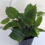 観葉植物/カンガルーアイビー3号ポット苗