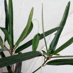 観葉植物/クロトン:トビハ(飛び葉)3.5号ポット