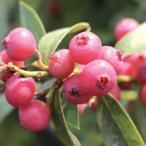 果樹の苗/ブルーベリー:ピンクレモネード6号ポット