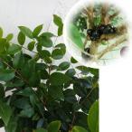 観葉植物/ジャボチカバ 6号鉢植え