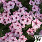 草花の苗/ペチュニア:スーパーチュニア ビスタミニ ピンクスター3号ポット 2株セット